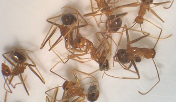 Yellow crazy ants, the insects who keep Israeli environmental groups awake at night.