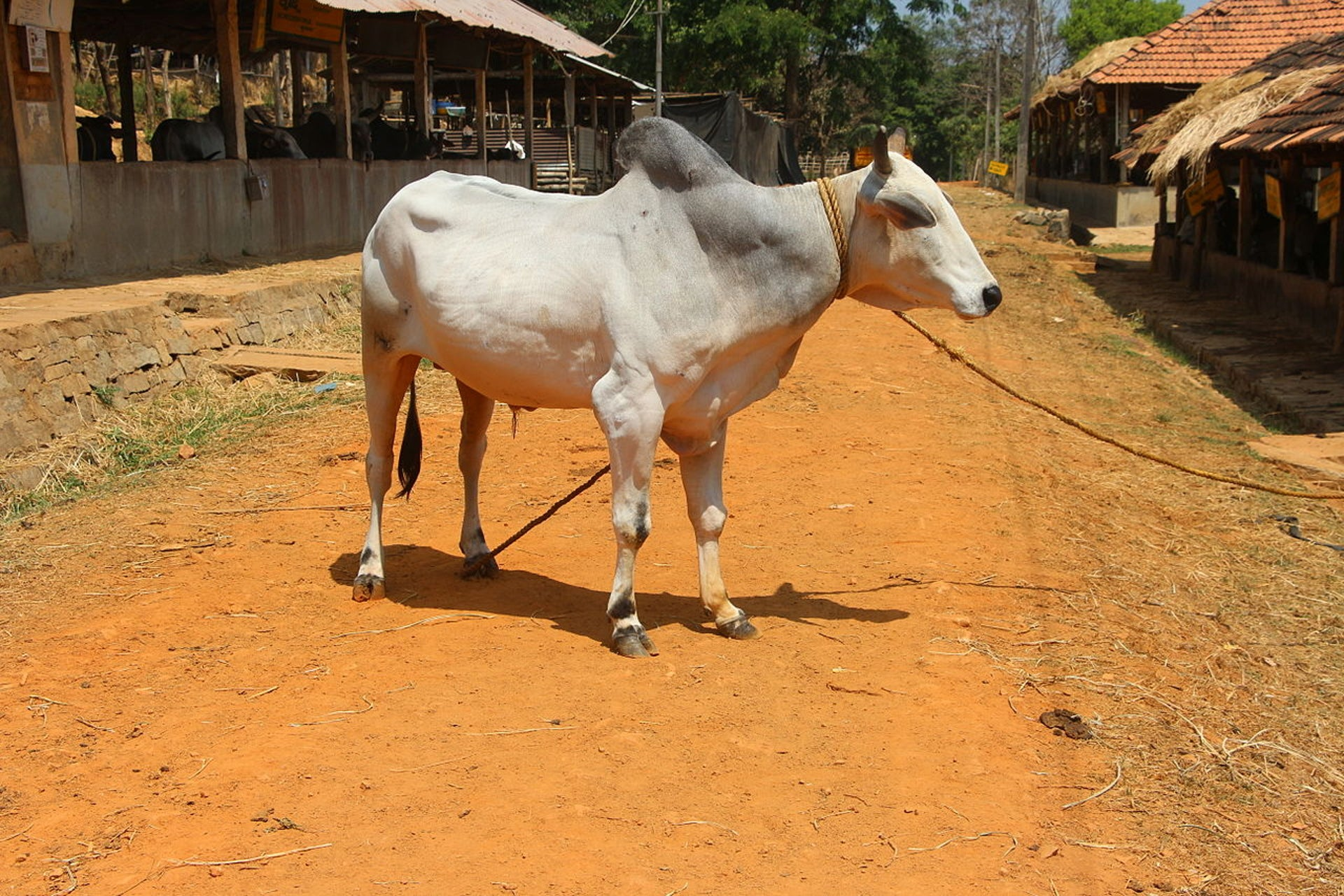 A typical Zebu cow, this particular specimen in northern India. Zebu are characterized by the fatty hump over their shoulder but more importantly, by relative resistance to heat, disease, sun, and humidity compared with the taurine cow.