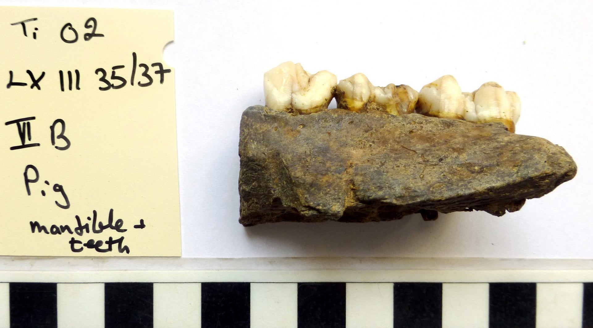 Mandible of ancient pig, about 3,000 years old