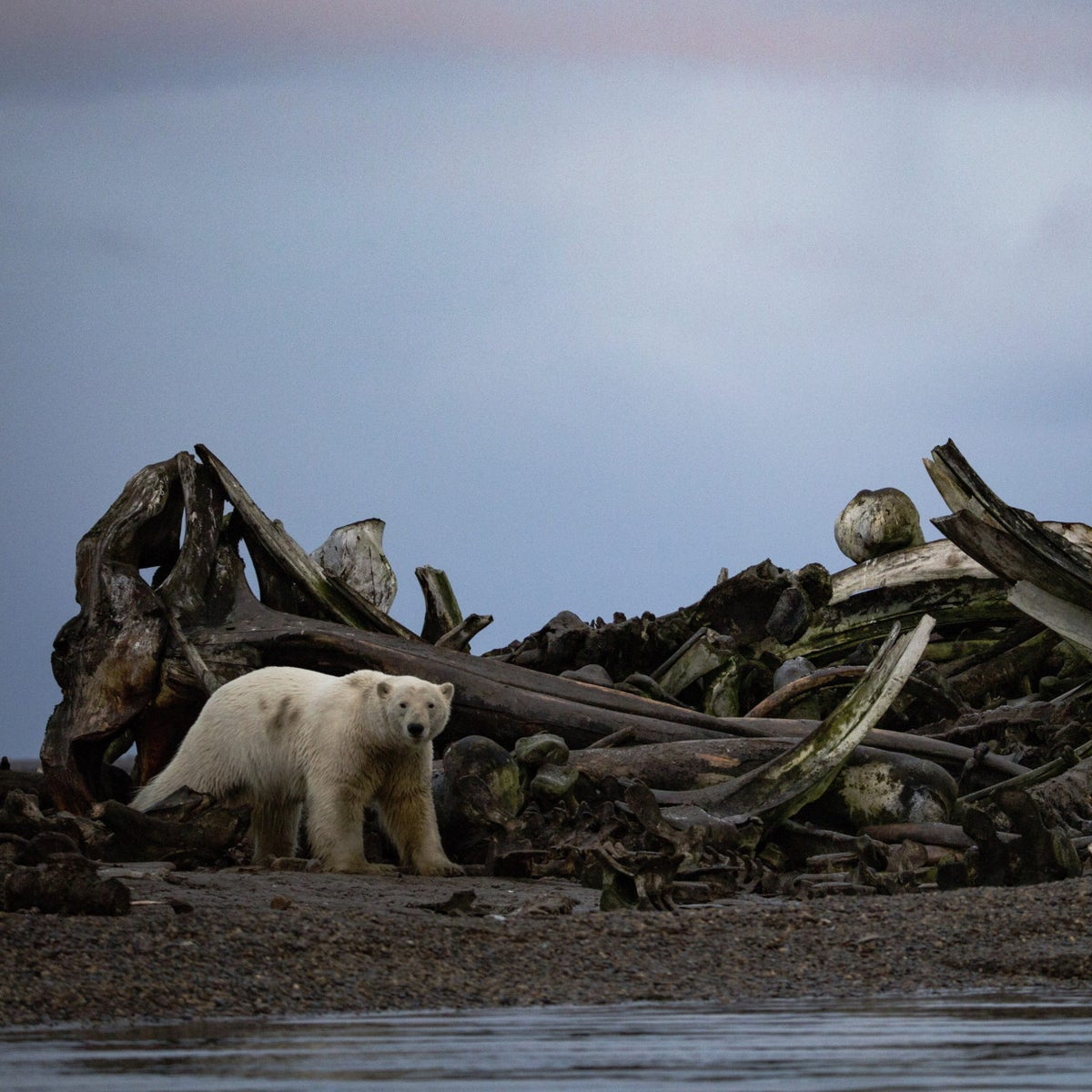 A polar bear near a pile of whale bones placed by villagers just outside the town of Kaktovik, Alaska, September 11, 2016.