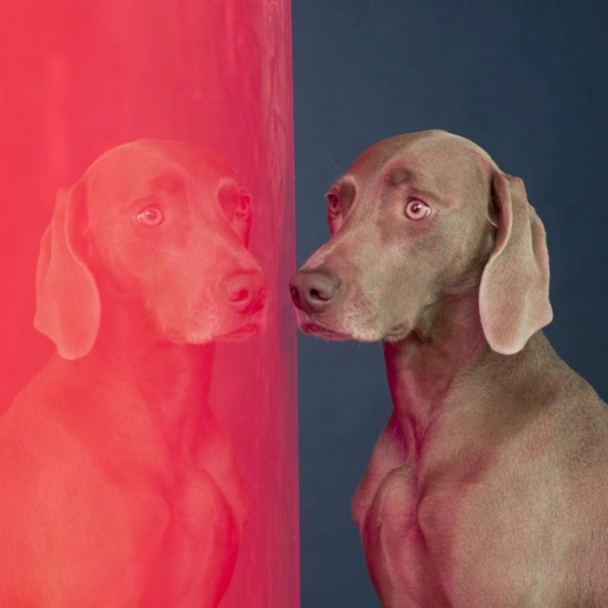 William Wegman's video shows two dogs intently following something that has grabbed their attention.