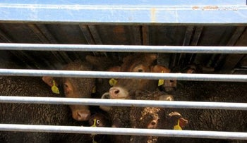 Shipment of live animals for slaughter.