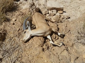 A dead ibex at Nahal Ashalim, after large quantities of acidic waste spilled into the stream, July 4, 2017.
