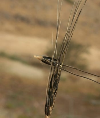 A stalk of wild wheat that is falling apart.