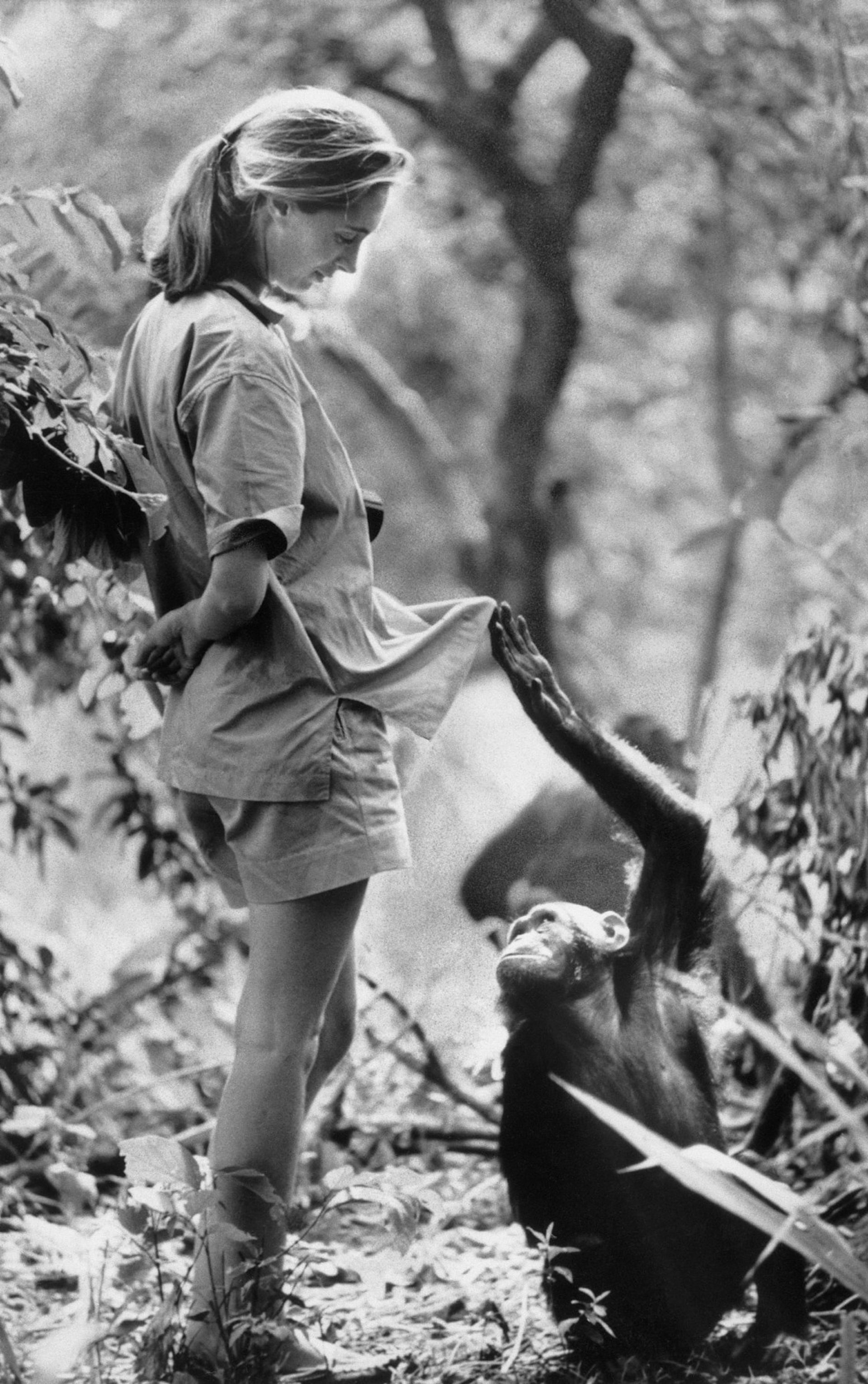 Jane Goodall with one of her research subjects in the Gombe National Park in northern Tanzania, in 1972.