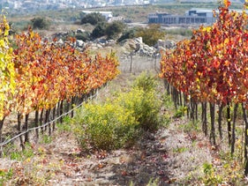 A view of the vineyard at Jezreel Valley Winery. Continues to stride forward.