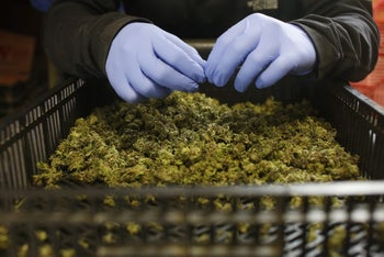 An employee sorting freshly harvested cannabis buds at a medical marijuana plantation in northern Israel, March, 2017.
