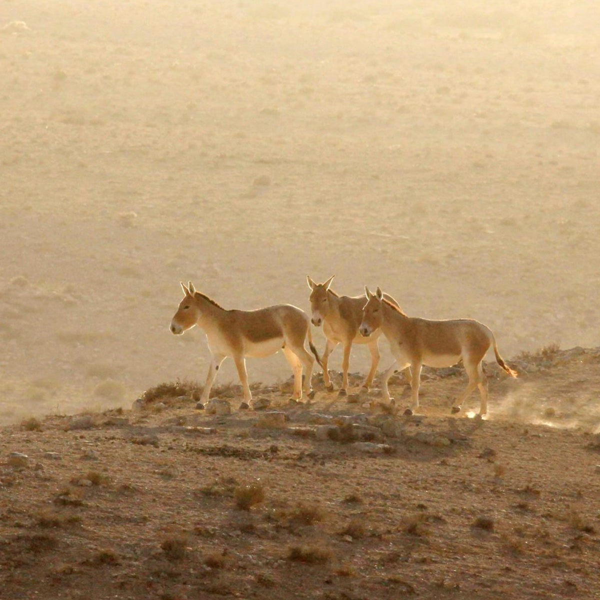 Wild asses in Makhtesh Ramon, Israel: Photograph shows three wild asses in sunset, standing on a gently sloping hillside. The environment is barren desert with low-lying ground-hugging scrubby plant life.