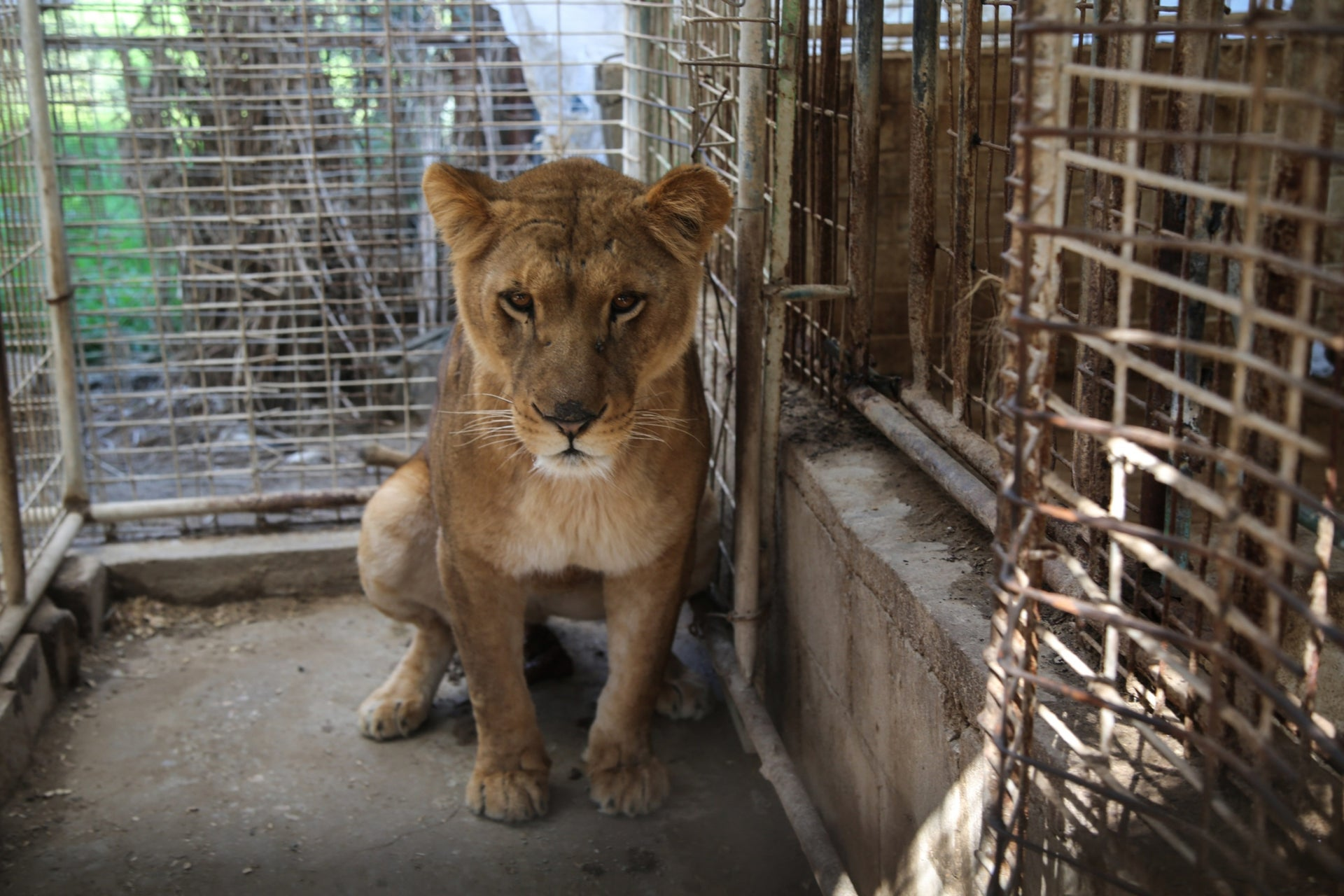 A lion in a cage at Rafah zoo.