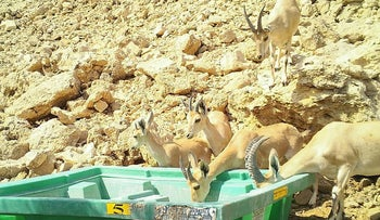 Ibexes drinking from water troughs at Nahal Ashalim, southern Israel. Eight died in July after drinking polluted water at the stream.