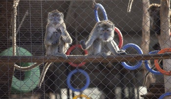 Macaques at the Mazor farm, which were captured abroad and can't be exported abroad for experimentation, at the end of 2016.
