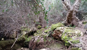 Plane trees dying in the Nahal Betzet nature reserve, March 2017.