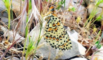 Acentria's fritillary (Melitaea acentria), a new butterfly species discovered in Israel on the slopes of the popular Mount Hermon ski resort.