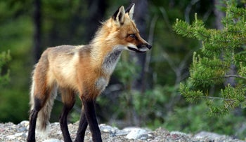 An adult fox in Quebec, Canada.