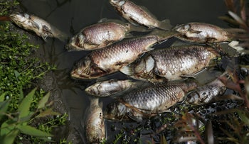 Dead fish in the Yarkon River after a sewage spill, Apr. 30, 2017.