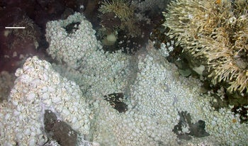 Life clusters around a deep-sea vent, where the entire food chain, including the barnacles and enormous number of white crabs we see in this picture, begins with chemotrophic microorganisms.