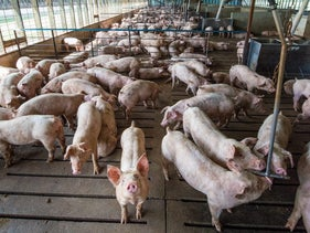 Pigs at a pork-producing farm.