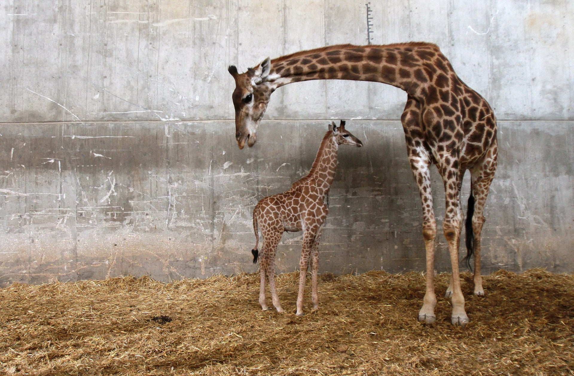 Adis, two weeks old baby giraffe with his mother in Biblical Zoo in Jerusalem, April 10, 2016.