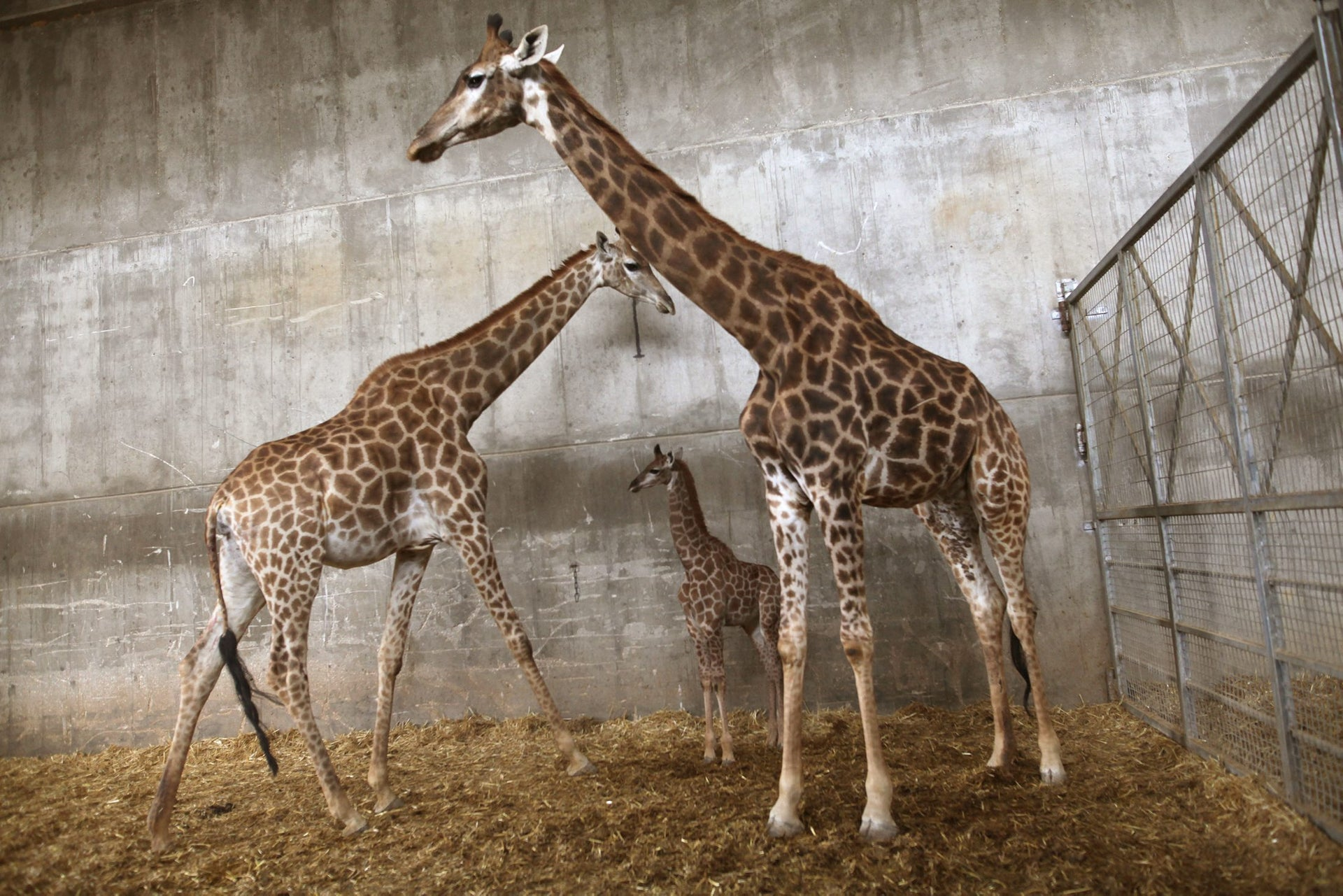 Adis, two weeks old baby giraffe with his mother and his grandmother, in Biblical Zoo in Jerusalem, April 10, 2016.