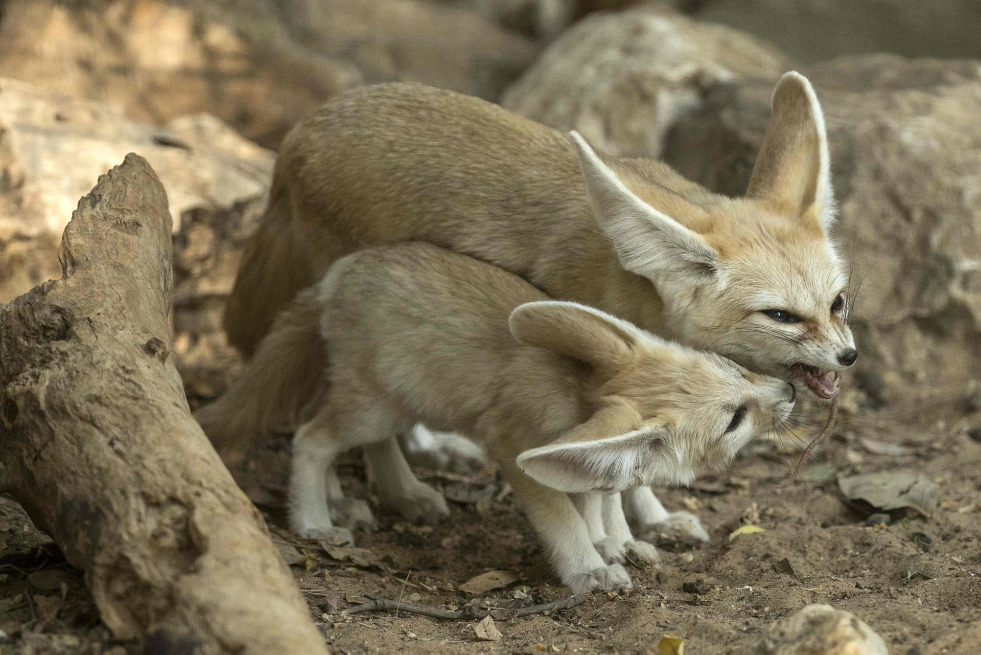 A picture taken on November 6, 2016 shows a seven-week old fennec fox (Vulpes zerda) and his mother with a mouse in her mouth at the Ramat Gan Safari zoo near the Israeli coastal city of Tel Aviv.