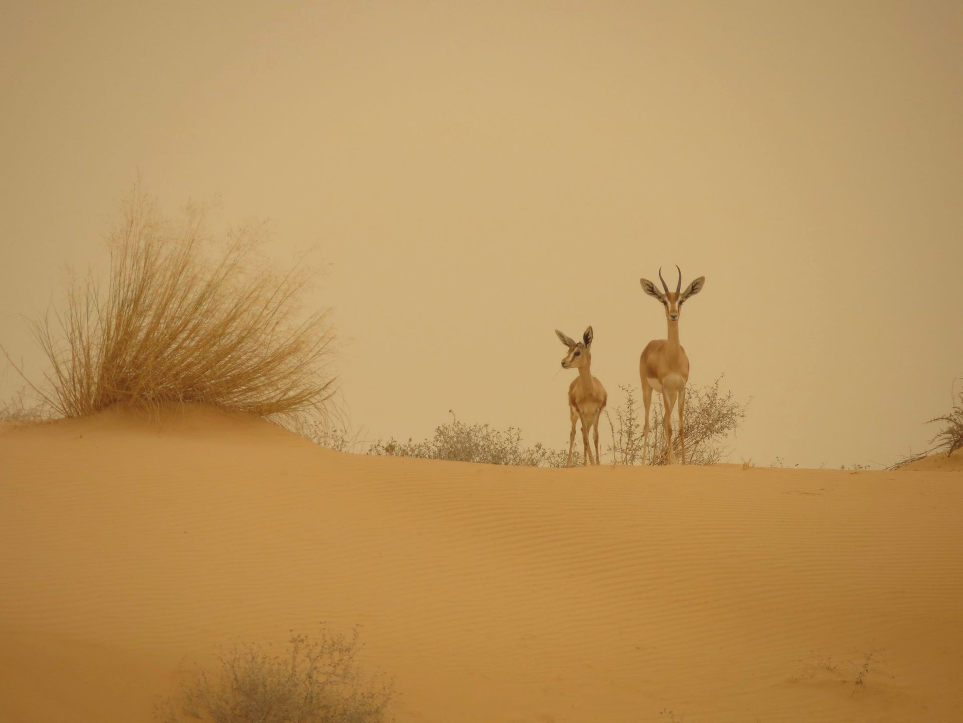 Negev doe with fawn during a dust storm, near Nitzana, September 2015 (First Prize in Mammals category).