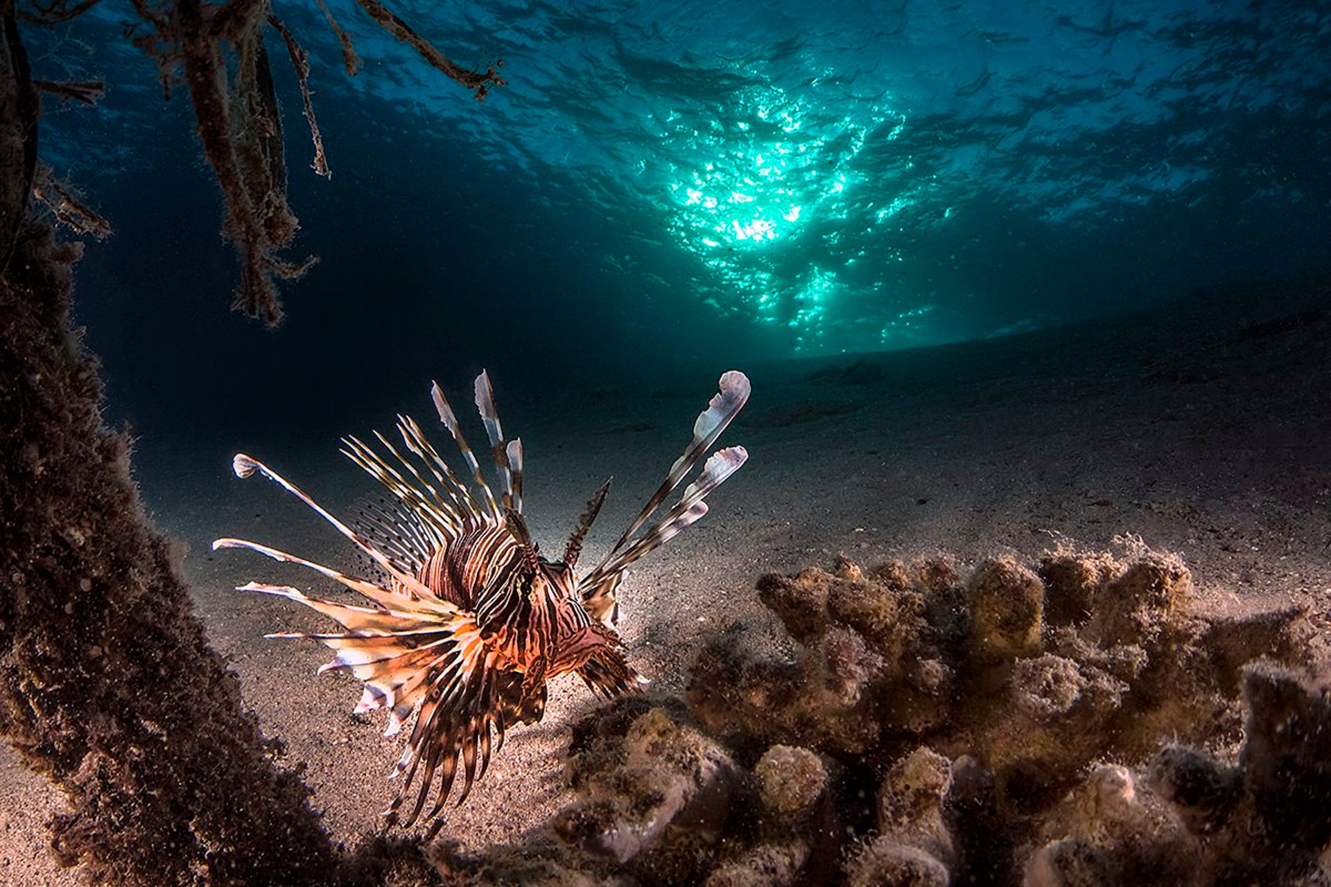A lionfish at rest, Eilat, November 2013 (First Prize in Underwater category).