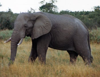 The savannah elephant: Also a female but somewhat less svelte.