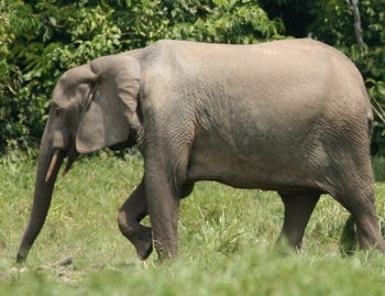 The forest elephant. Seen in the picture: A lovely slim female forest elephant with rather short tusks, as distinguished from a savannah elephant.