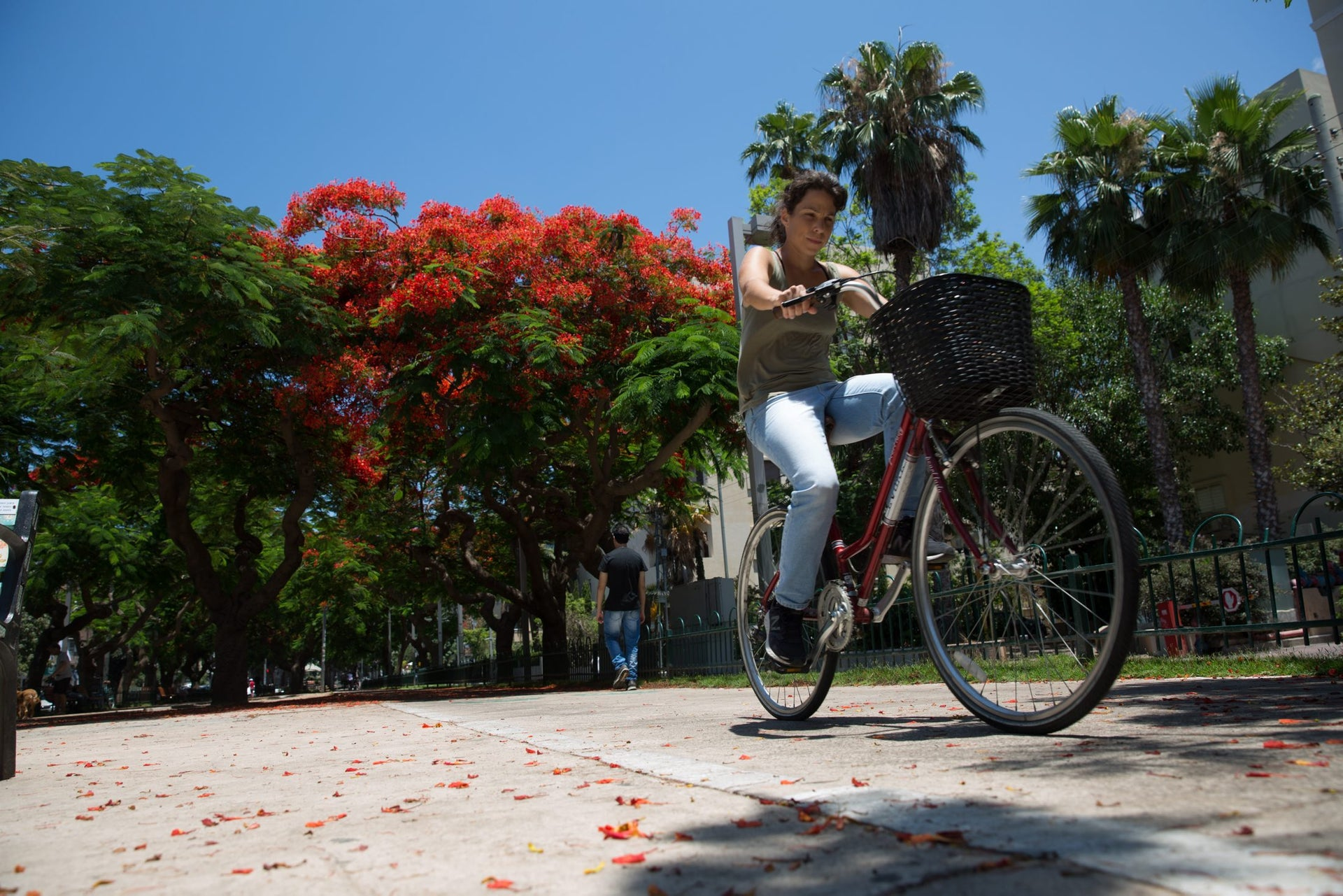 A cyclist riding by poinciana trees on Rothschild Boulevard in Tel Aviv, June 2017.