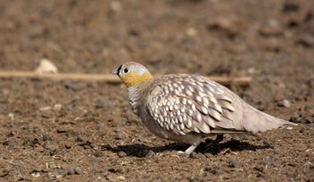 "The crowned sandgrouse, one of the primary victims of man's ""violation"" of nature in the northern Negev."