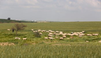 Sheep graze near the town of Rahat in the Negev.