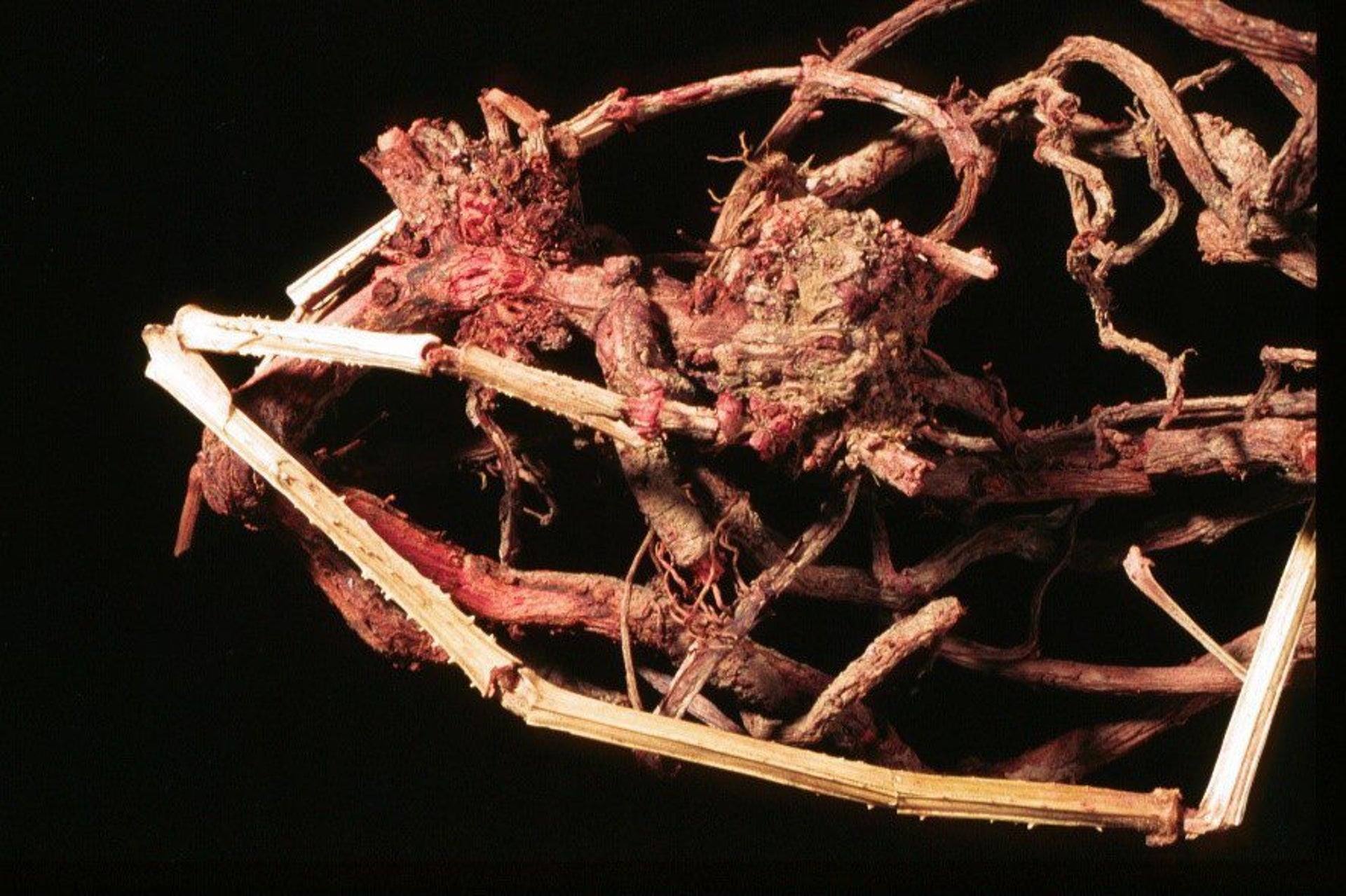 Roots of the dyer's madder used to produce the red pigment.