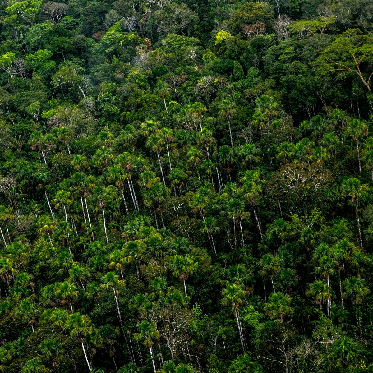 Trees stand in the rainforest near illegal gold mining camps in an aerial photograph taken above the Amazonian National Reserve buffering zone of Tambopata in Puerto Maldonado, Peru, on Aug. 11, 2015.