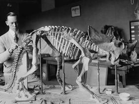 Preparing the skeleton of a baby dinosaur for exhibition, 1921.