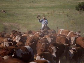 Israeli cowboy Yehiel Alon rides on horseback as he rounds up some 650 head of cattle, Golan Heights, Israel, April 21, 2016.