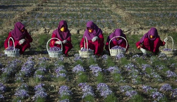 Women working in a saffron field in Afghanistan. Although it's very expensive, just sniffing saffron for 20 minutes can reduce anxiety levels.