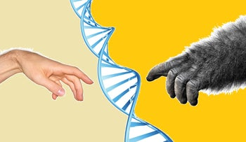 Illustration of DNA, human on one side, ape on the other: Our ancestors seem to have had sex with multiple human species over the eons. Now a third human ancestral species has been detected through DNA analysis of Andaman islanders - who turned out to have some genes not from Sapiens, nor from Neanderthals, nor from Denisovans.