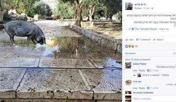 Temple Mount activist Haim Brosh's doctored photo of a pig on the Temple Mount, December 2016.