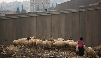 A Palestinian shepherd tends her flock alongside a section of Israel's separation barrier near El Za'im checkpoint, on the outskirts of east Jerusalem, Wednesday, Dec. 28, 2016.