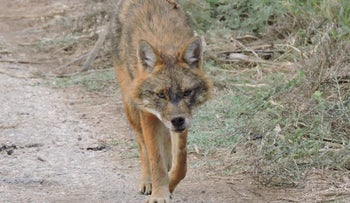 A jackal roaming near Tirat Zvi in northern Israel.