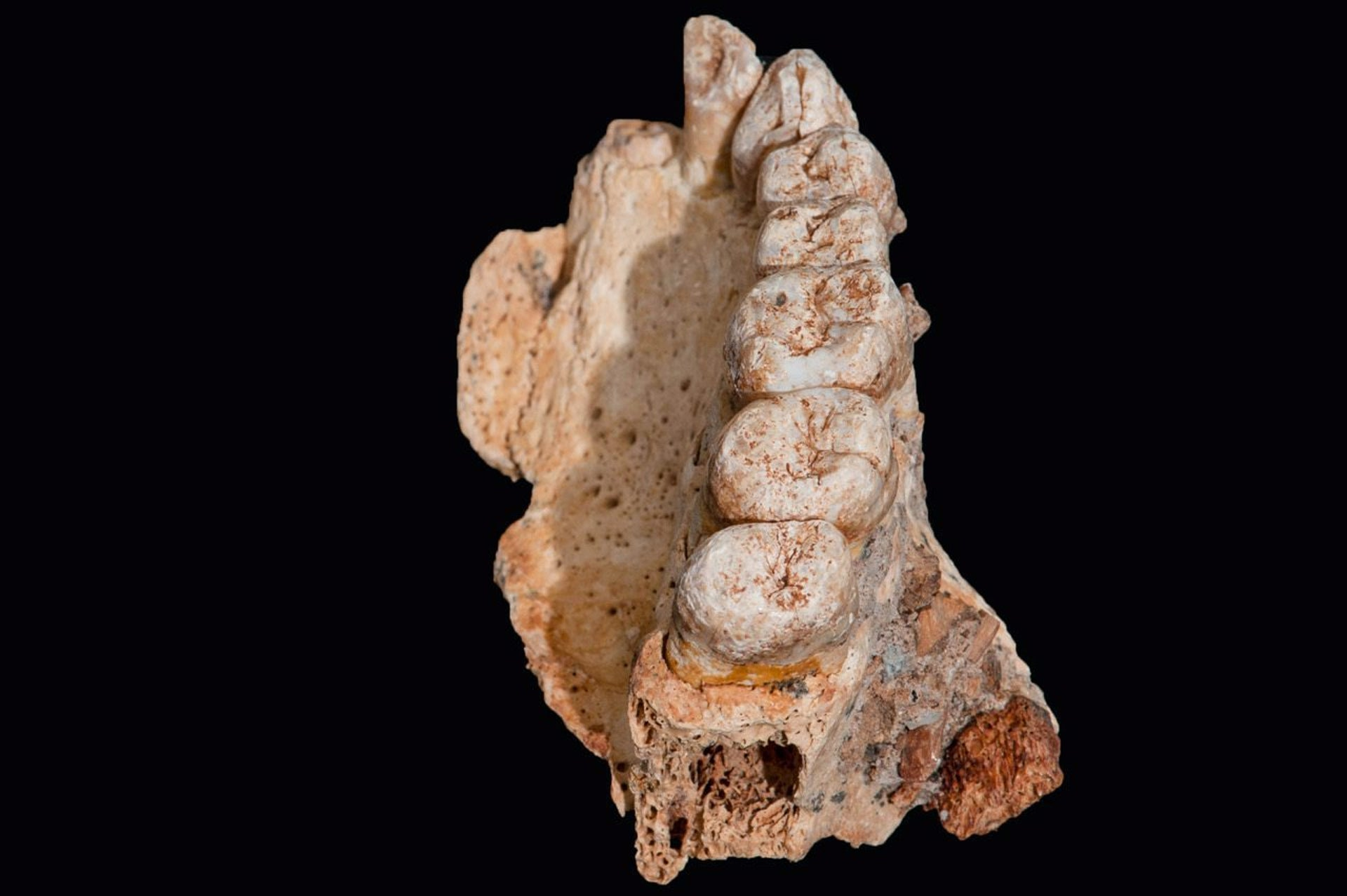 Upper left jawbone of a modern Homo sapiens found in Misliya cave on Mount Carmel and dated to nearly 200,000 years ago, the oldest human remains out of Africa.