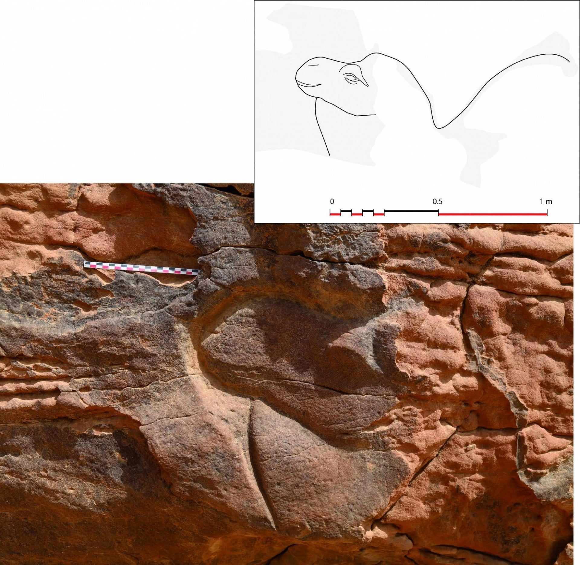 Bas-relief of dromedary head, among the roughly 12 life-size depictions of camels found at Al Jawf, Saudi Arabia, which seem to date to about 2,000 years ago.