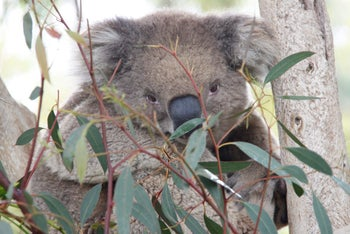In his prime, Milo the koala weighed 14 kilograms and was as tall as a small poodle.