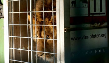 A lion named Saeed, caged prior his departure from the Al-Ma'wa Animal Sanctuary in Jordan. February 24, 2018.