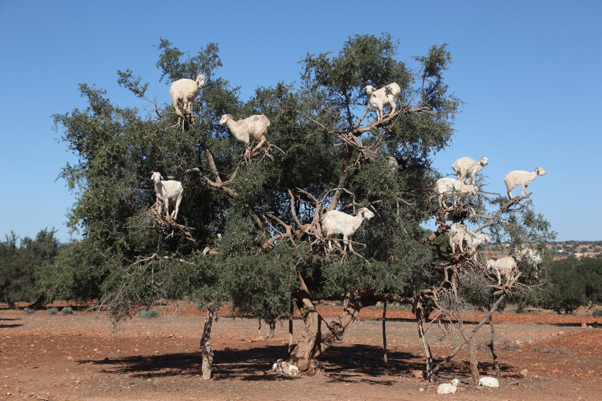 Tree climbing goats feeding in an argan tree, in Essaouria, Morocco, Africa, on 17 December 2016. picture shows at least 11 goats who had climbed an argan tree that looks to be about 25 feet high. On the brown stony soil ground, three more goats are sitting.