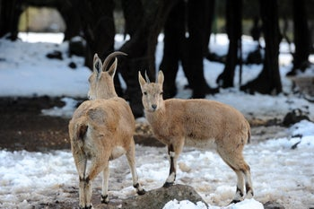 Goats in the snow, Golan Heights. Picture shows two goats standing on a thin layer of snow - a few inches perhaps that fell in the Golan in February 2015.