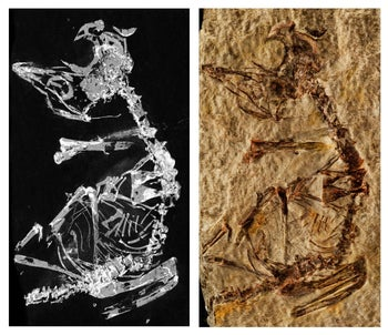 Phosphorous mapping image and photo of fossil baby enantiornithe found in Spain, in La Hoyas field. It was very much like baby birds today but it had finger claws and teeth.