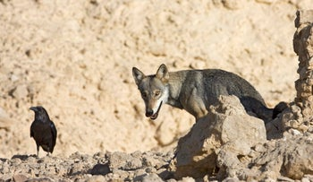 FILE PHOTO: An Israeli wolf in the Negev desert: Israel is offering farmers over $500 for every wolf they kill to try and stop them from killing livestock