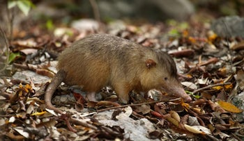 Hispaniolan solenodon (Solenodon paradoxus) is one of the only extant venomous mammals. Its species separated from other insectivores at the time of the dinosaurs.