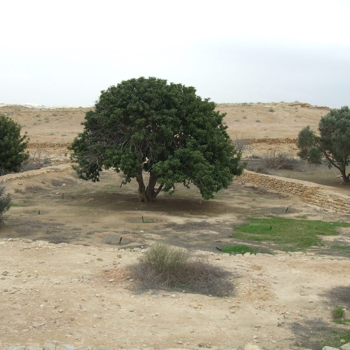 Trees planted in Shivta this century